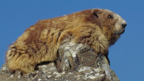 Marmot sitting on a rock outcrop.
