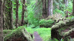 Trail in the Hoh Rain Forest