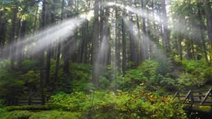 Sun beams through the trees in the Sol Duc Valley.