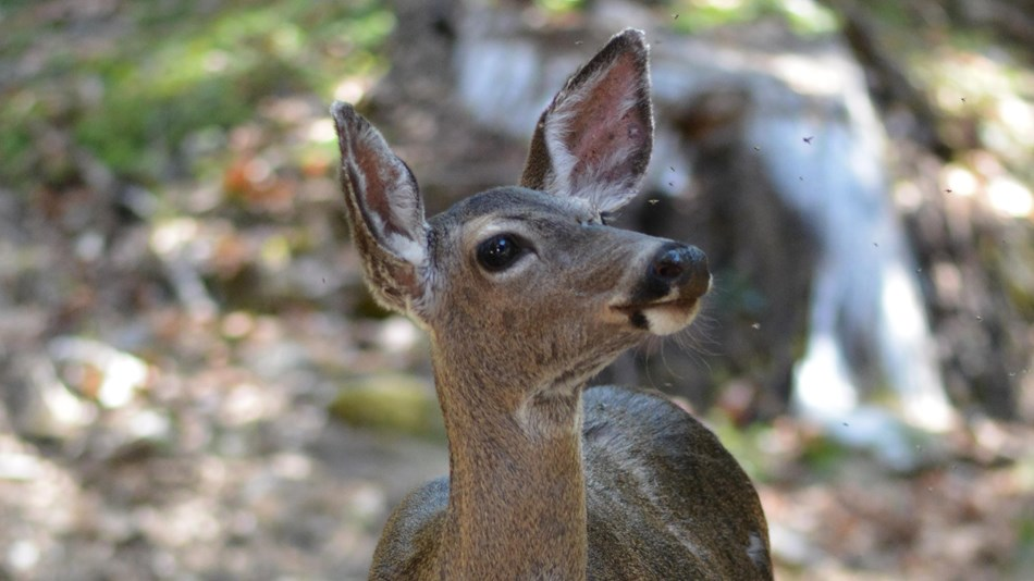 Close-up of the face of a Columbian black-tailed deer.