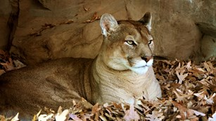 A cougar resting in fallen leaves in front of a tan stone wall.