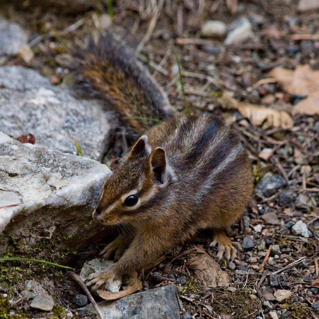 Siskiyou chipmunk foraging for food.