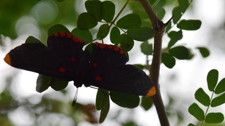 A black butterfly rests on an ebony tree branch.
