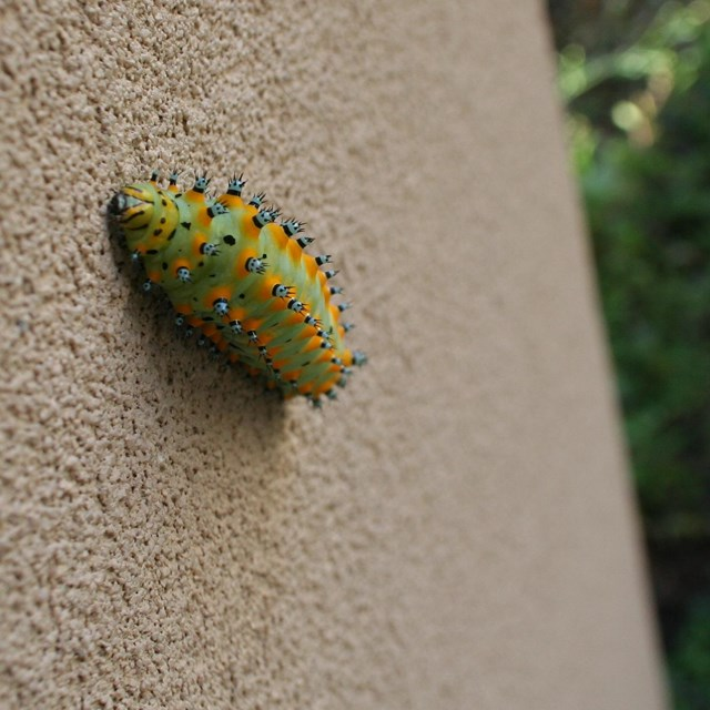 Green and yellow spotted caterpillar climbs up a wall.