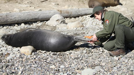 NPS staff applying a small pink flipper tag to the tail of a young elephant seal