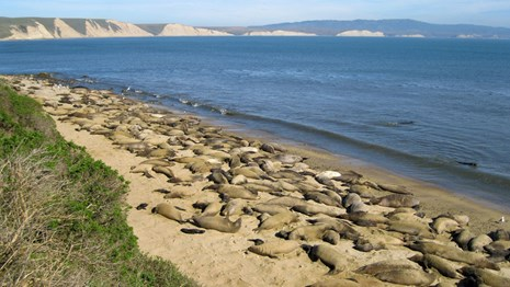Hundreds of elephant seals covering a long section of beach