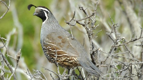 Close up of a California quail.