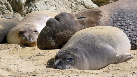 Weaned elephant seal pups with a bull elephant seal
