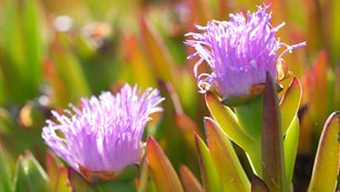 Close up of ice plant flower.