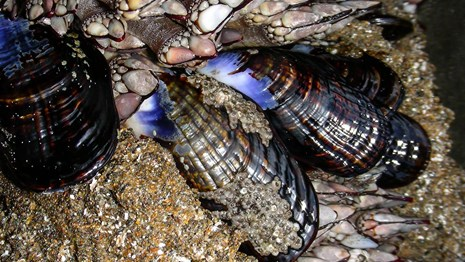 Close up of mussels in the intertidal zone.