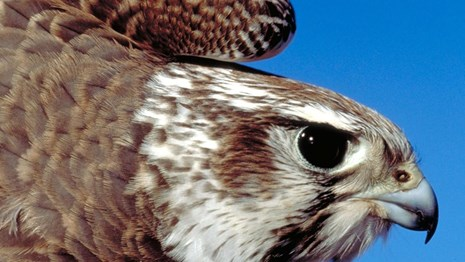 Close up of prairie falcon