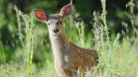 A black-tailed deer fawn