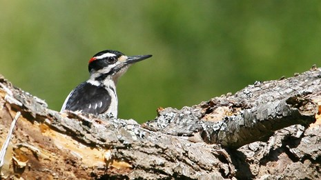 Hairy woodpecker on a large tree branch