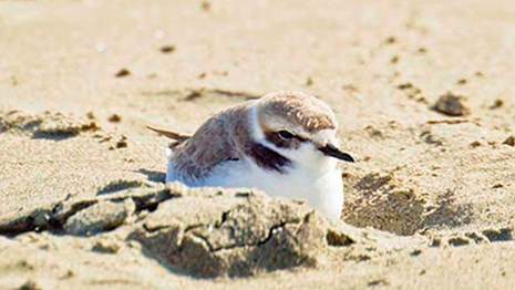 Snowy plovers in the sand.