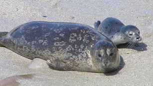 Mother harbor seal with pup.
