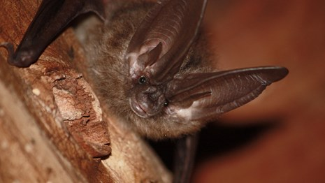 Looking up into the face of a Townsends big-eared bat