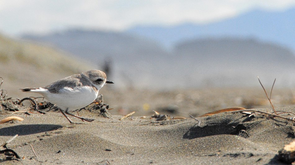 Western snowy plover walking along Ocean Beach, with dunes and hills in the background