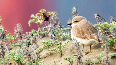 Western snowy plover on a sandy beach