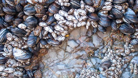 Close up of barnacles and mussels in the intertidal zone.