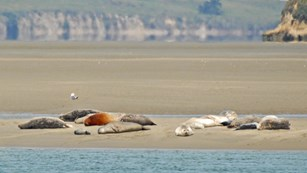Harbor seals resting on a sandbar in Point Reyes