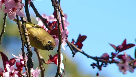 Little yellow bird in tree among cherry blossoms.