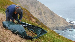 Photo of iceplant (Carpobrotus edulis) removal at Point Reyes headlands.