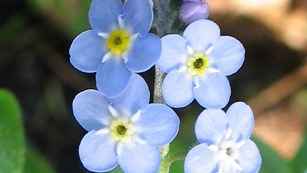 Photo of a Forget me not