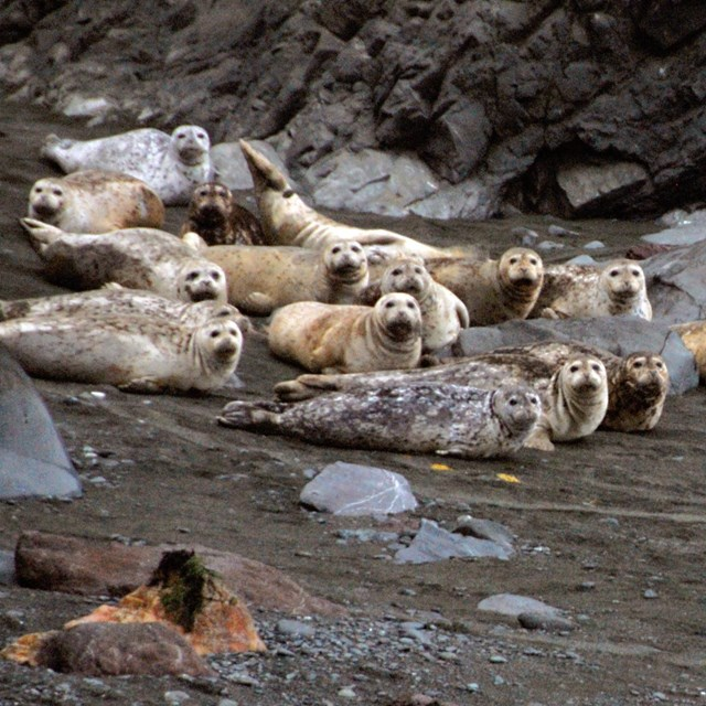 A group of harbor seals hauled out on a beach