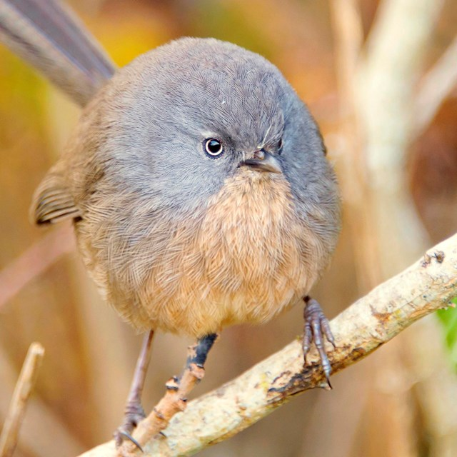 Wrentit pauses on a shrub branch