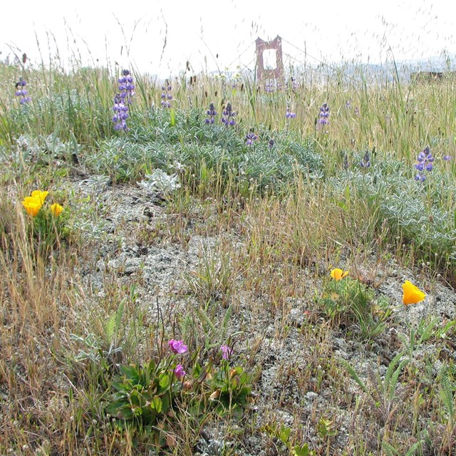 Grassland plants flowering, with the Golden Gate in the background