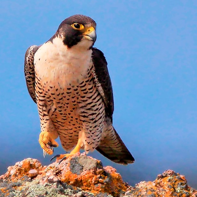 Peregrine falcon perched on a cliff top