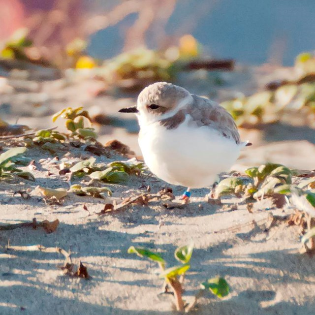 Plover on a sand dune with a view of the Golden Gate Bridge
