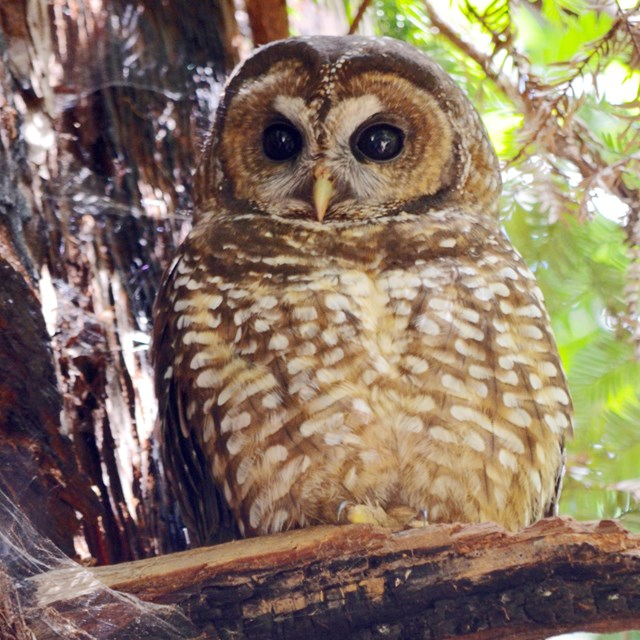 A northern spotted owl perched next to a tree trunk