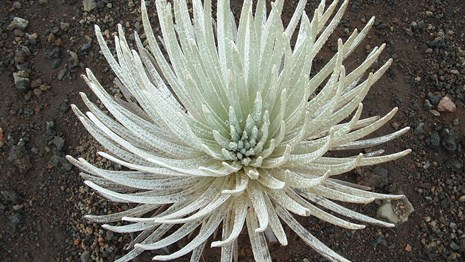 Endemic silversword in Haleakalā National Park