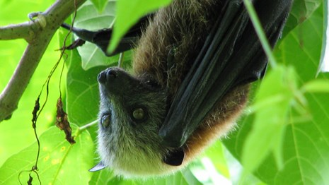 A fruit bat hangs upside down in the National Park of American Samoa