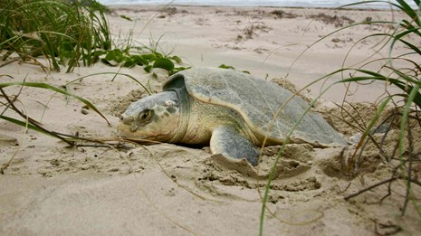 A nesting Kemp's ridley sea turtle on the sandy beach surrounded by prairie grasses.