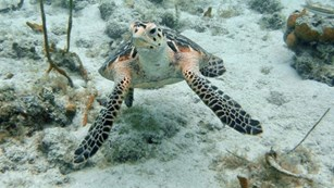 A hawksbill sea turtle swimming over coral and sand on the ocean floor.