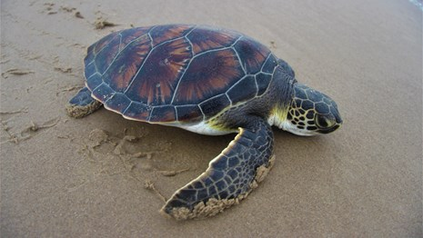 A green sea turtle on the beach.