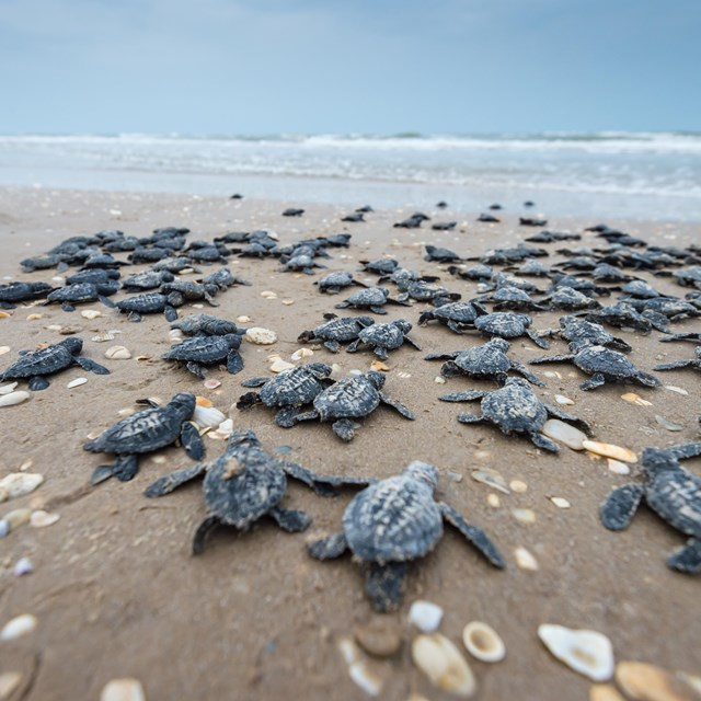 Dozens of sea turtle hatchlings make their way across the beach to the waves.