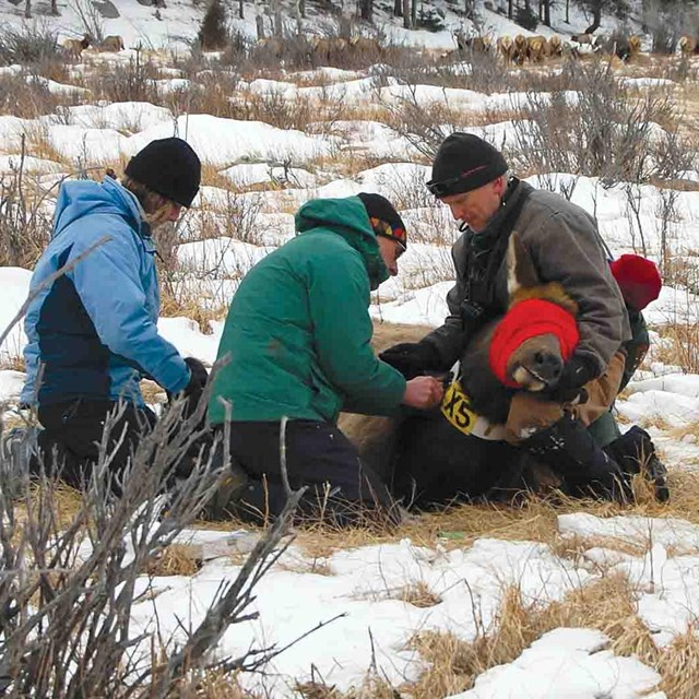 A team of park scientists tag an elk and collect data on its health.