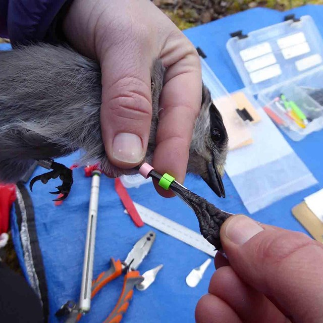 A close up image of a bird being banded.