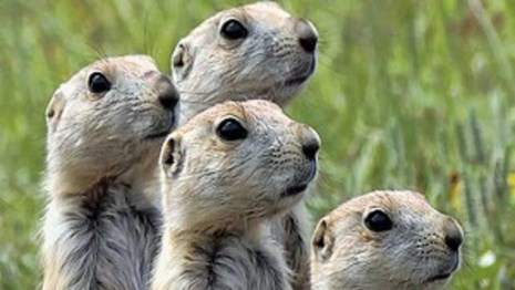 Prairie Dogs standing together and scanning the horizon