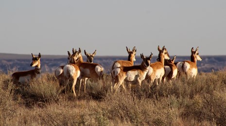 A herd of pronghorn look out at the view
