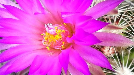 Magenta blossom is bigger than the cactus
