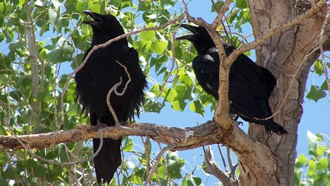 Two ravens in a tree