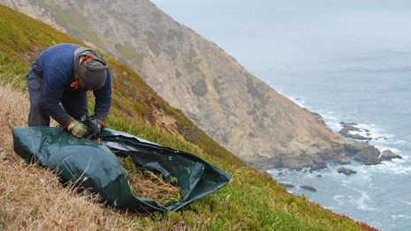Researcher gathers invasive ice plant on a coastal cliff.