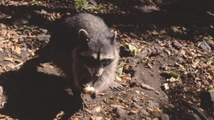 A raccoon forages for food.