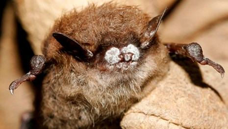 Small fuzzy bat with white fungus growing on it's nose.