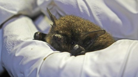 Small furry bat peeks out from the white-gloved hands of a researcher.