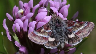 Photo of a common flower moth perched on a purple flower.